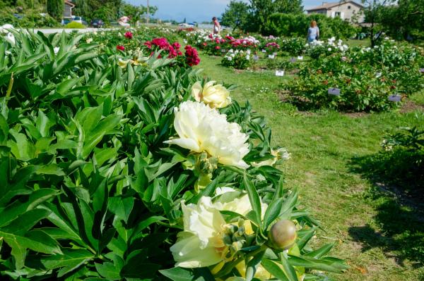 Drome 26 Fleurs Crest Pivoines