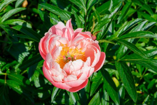 Drome 26 Crest Pivoine Fleur Flower Peony