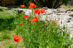Fleur vaucluse coquelicot