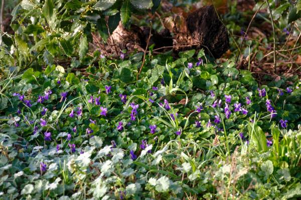 Drome 26 Pizancon Fleur Violettes
