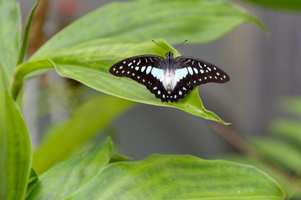 Drome 26 Die Papillon Animal