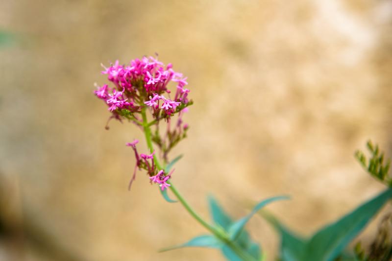 Drome 26 Le Poet Laval Fleur Macro