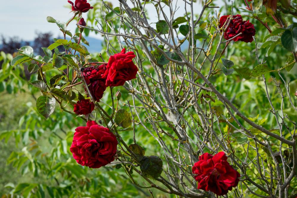 Drome 26 Fleur Pizancon Rose