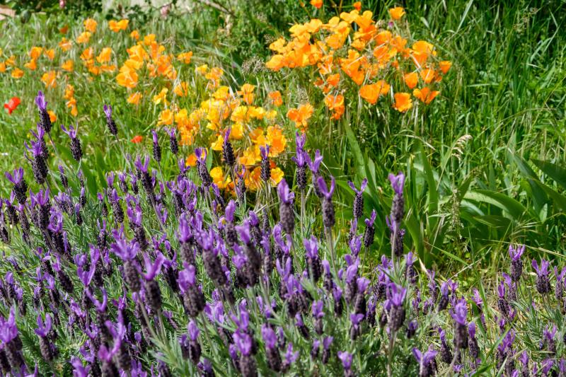 Drome 26 Pizancon Fleur Lavande  Eschscholzia