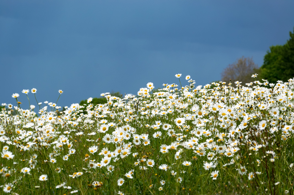 Fleurs Flowers Drome Marguerite daisy 26