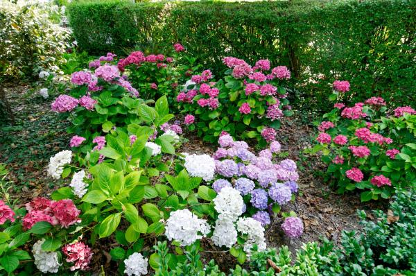 Fleur Jardin Nature Manche Granville hostensia