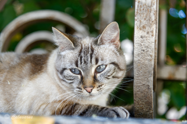 Drome 26 Saou Chat Portrait Cat