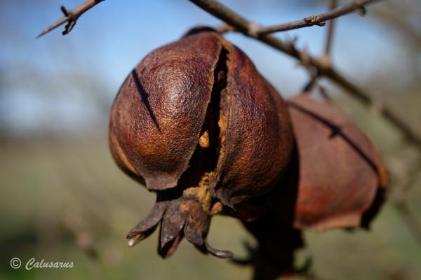 Drome 26 Pizancon grenade fruit