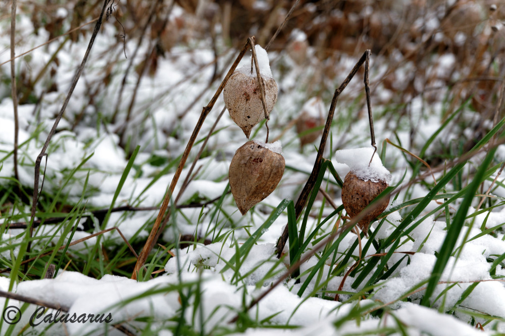 Drome 26 Hiver Physalis Neige Nature