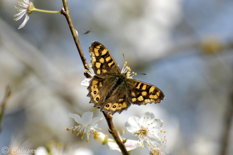 Drome 26 Chatuzange Printemps Papillon