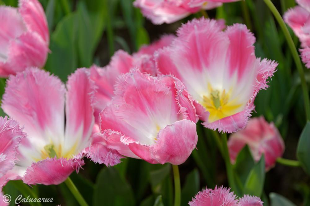Tulipes Fleurs Pays-Bas Netherland Keukenhof