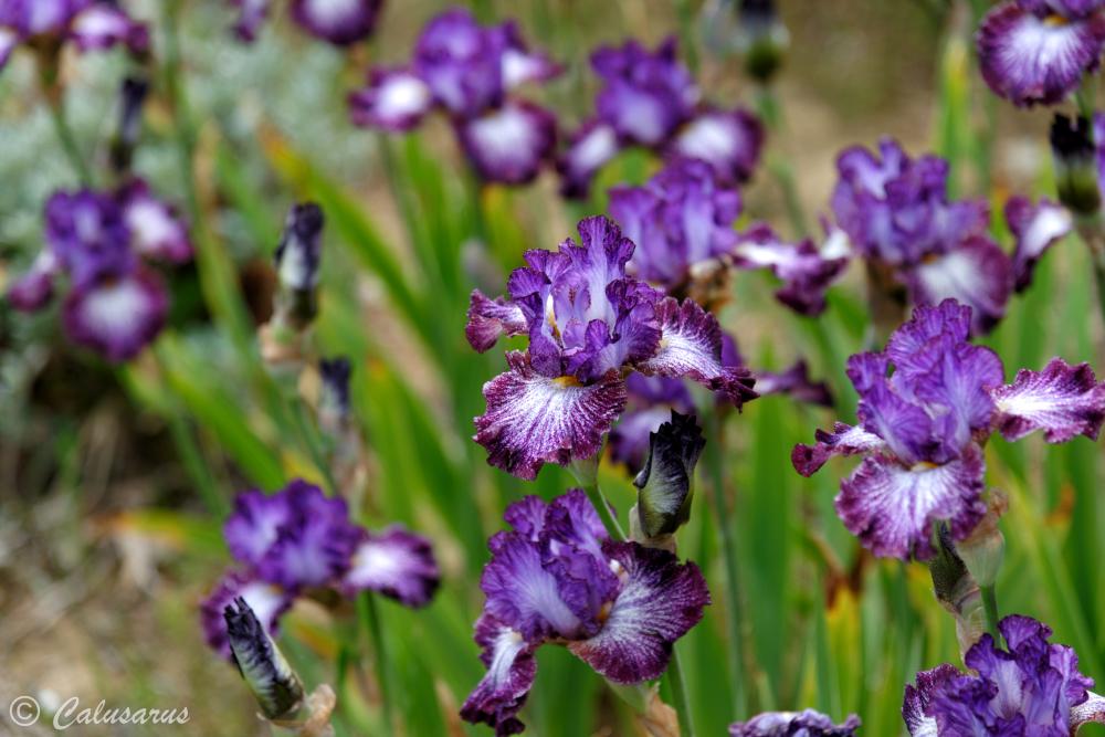 Drome 26 Chabeuil Plante Fleur Iris