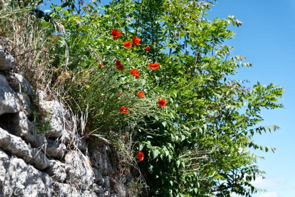 Paysage Lubéron Fleurs coquelicot