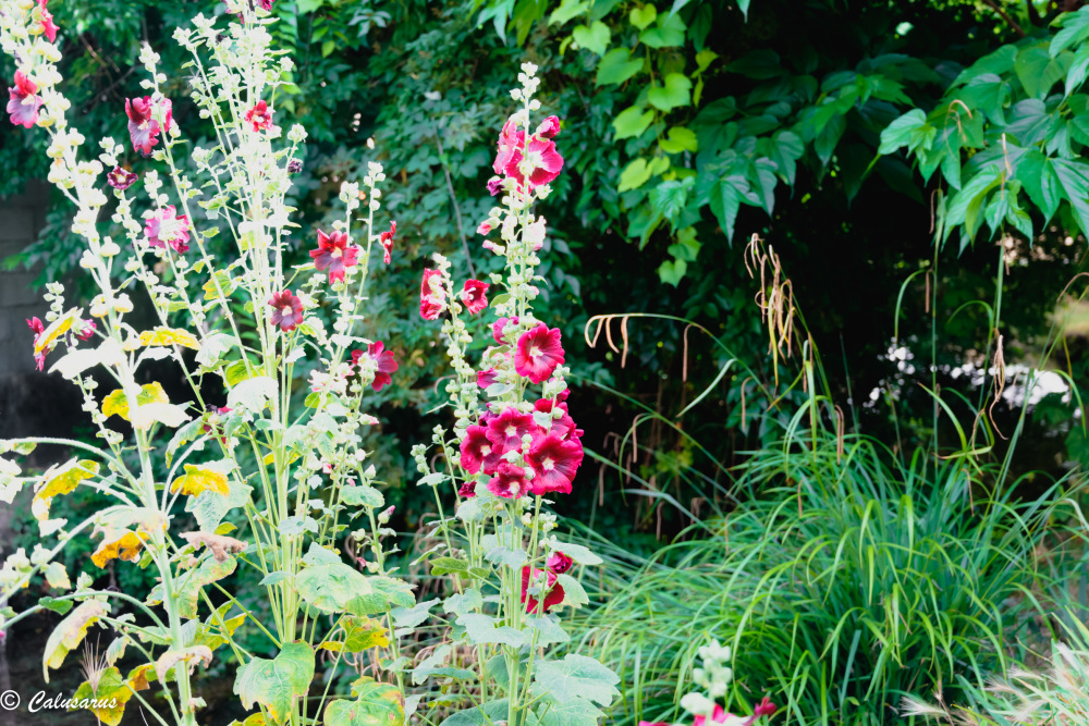 Drome 26 Valence Nature Fleurs Rose