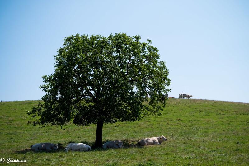 Isère Nature Paysage Vache Arbre