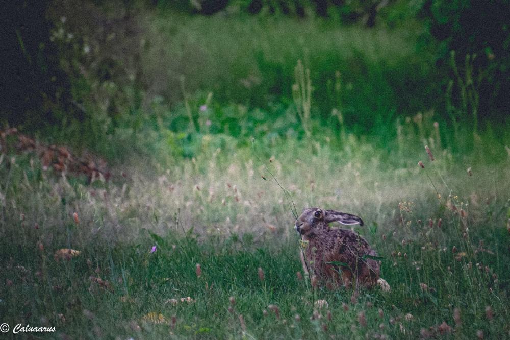 Drome 26 Pizancon Nature Animal Lievre