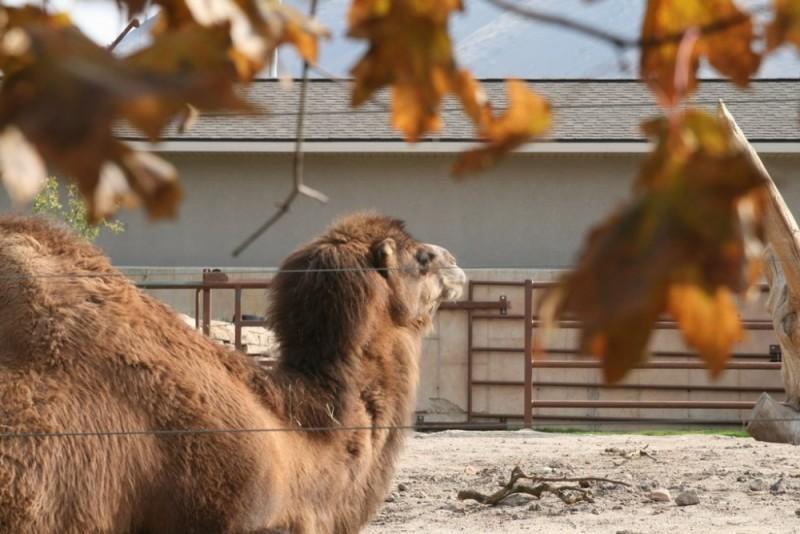 Camels in Utah?