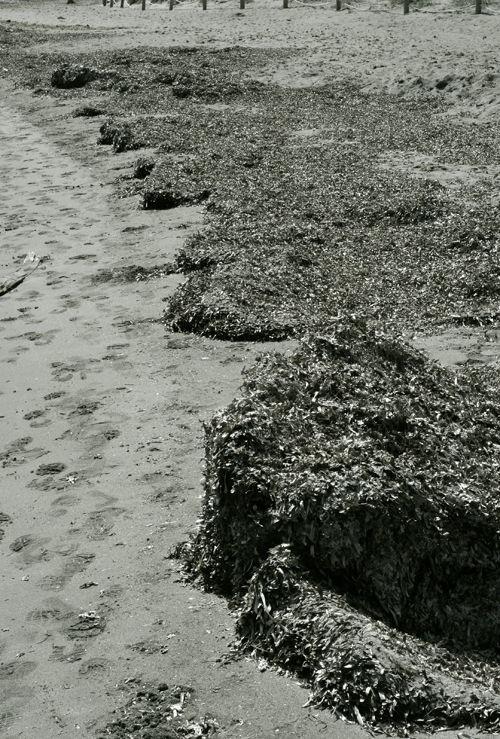 posidònia oceànica