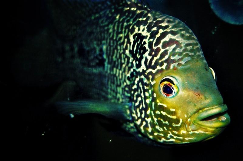 Aquarium Fish in an Albay Food Stop