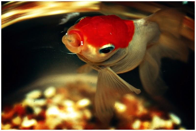 Jude, My Redcap Goldfish