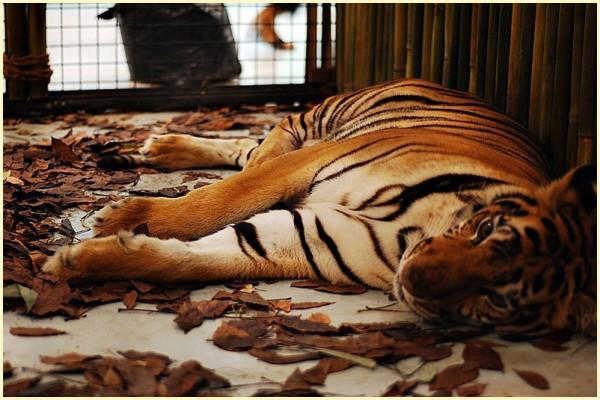 Avilon Zoo Tiger