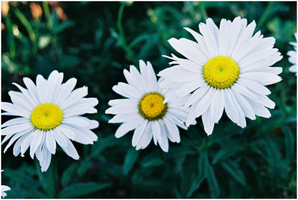 daisy flowers white yellow Baguio