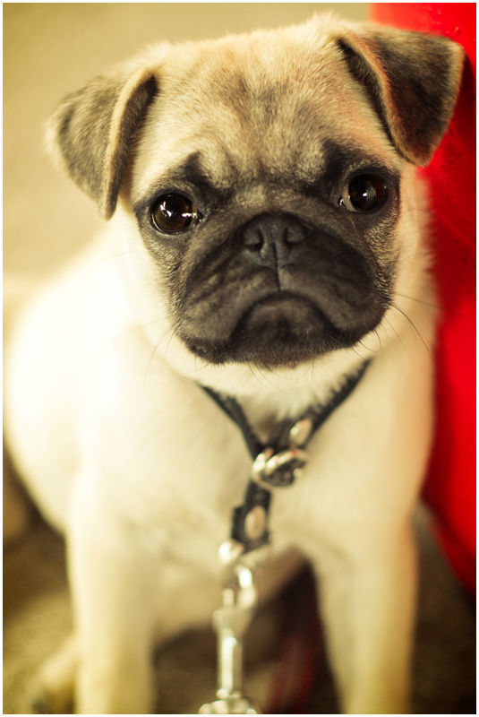 Pug Toy Dog Puppy