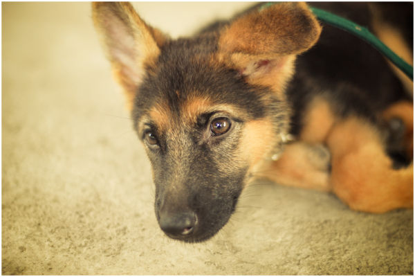 Agatha, the German Shepherd