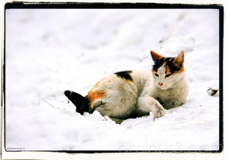 amirdarafsheh, cat, tehran