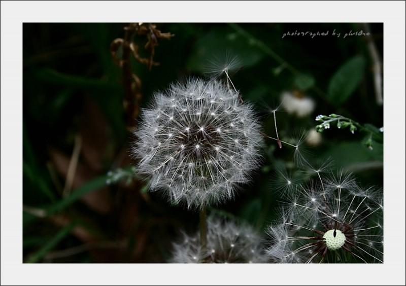 The Dandelion Spores