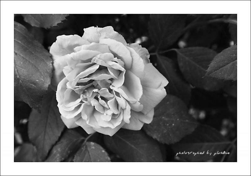 B/W Rose