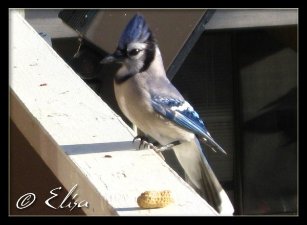 Blue Jay 2 of 10
