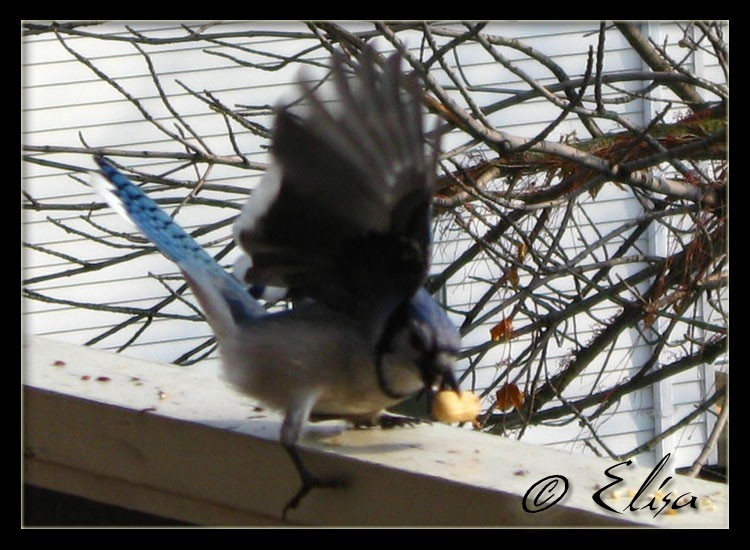Blue Jay 5 of 10