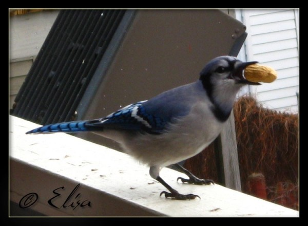 Blue Jay 9 of 10