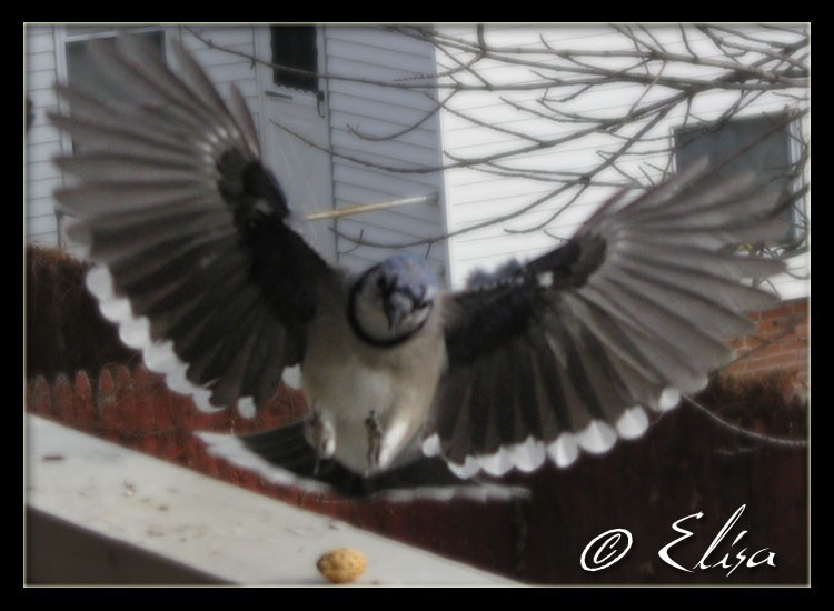 Blue Jay 4 of 10