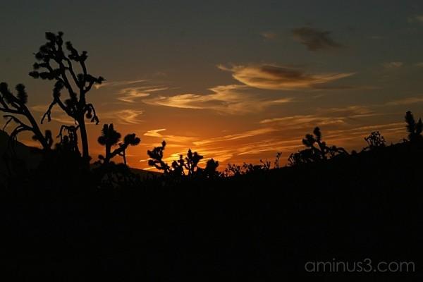Joshua trees against the setting sun