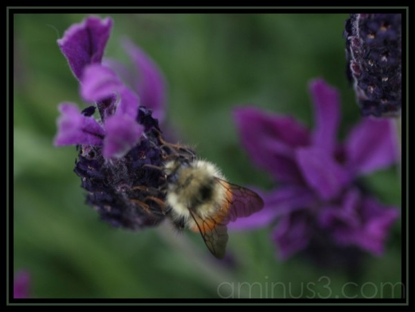 bee on butterfly lavender