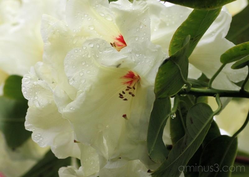 rain drops white rhododendrun