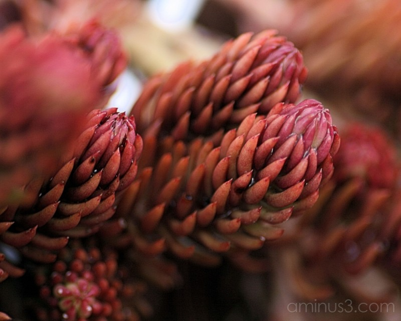 close up of a red sedum