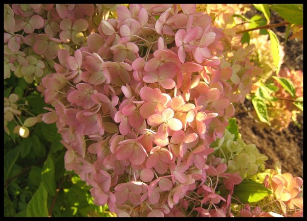 Pink hydrangeas kisseed by the evening sun