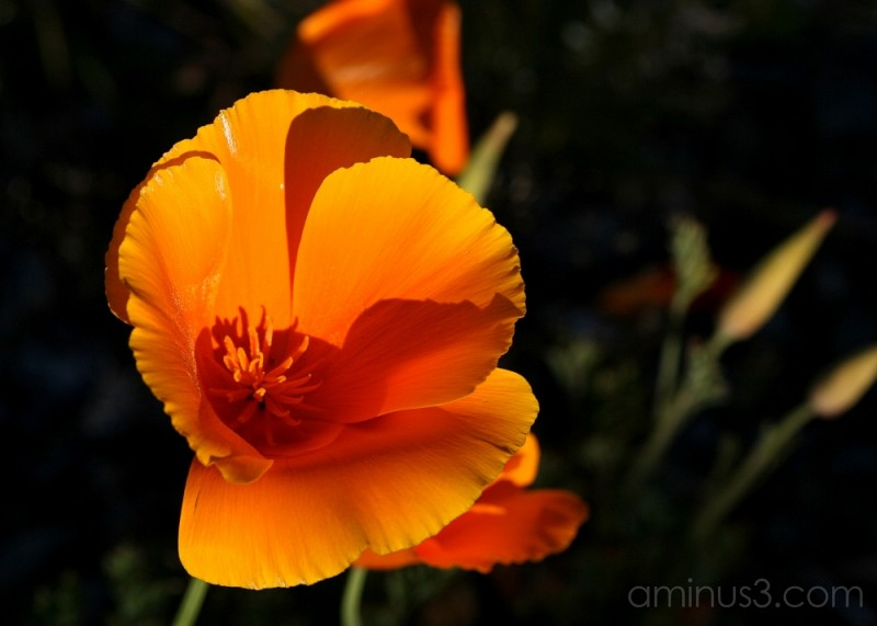 Glowing orange poppy