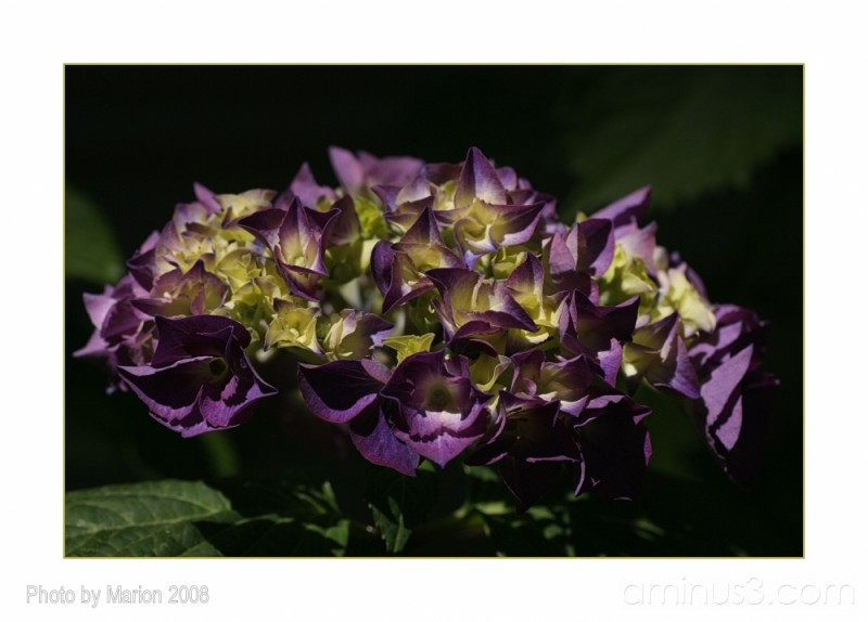 The hydrangea at our new house