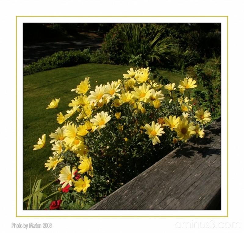 Cheery Yellow daisies