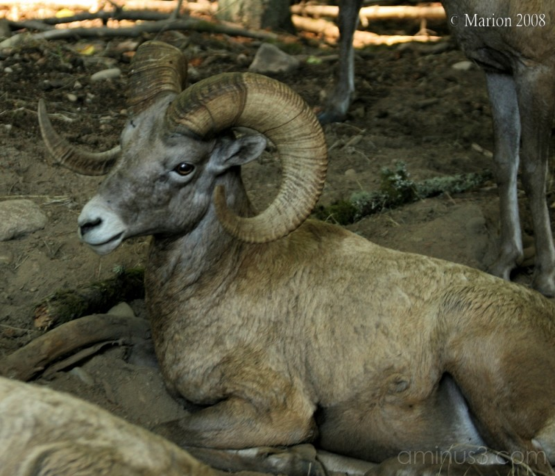 A big horn sheep