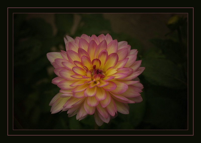 Dahlia ii, all in a glow