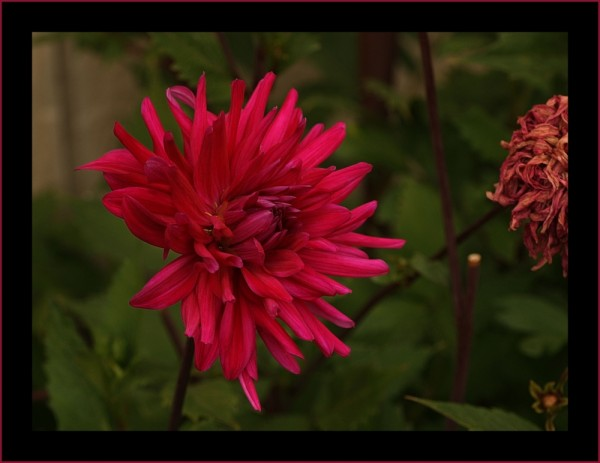 Dahlia iii, a pretty red one