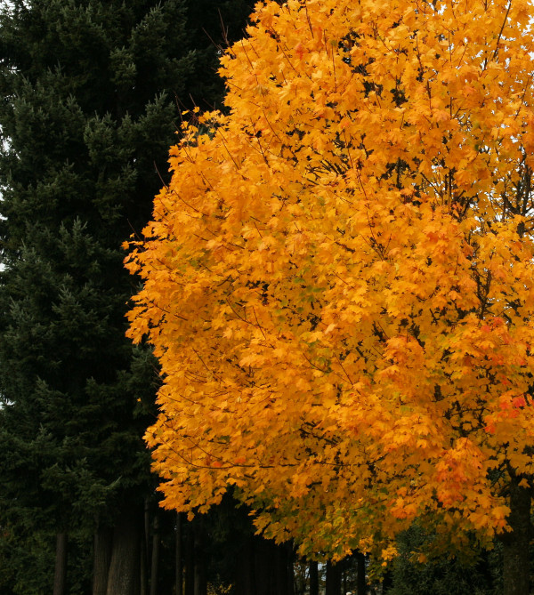 Fall ii - Golden Splendor