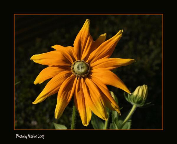 Sunny daisy for Sunday