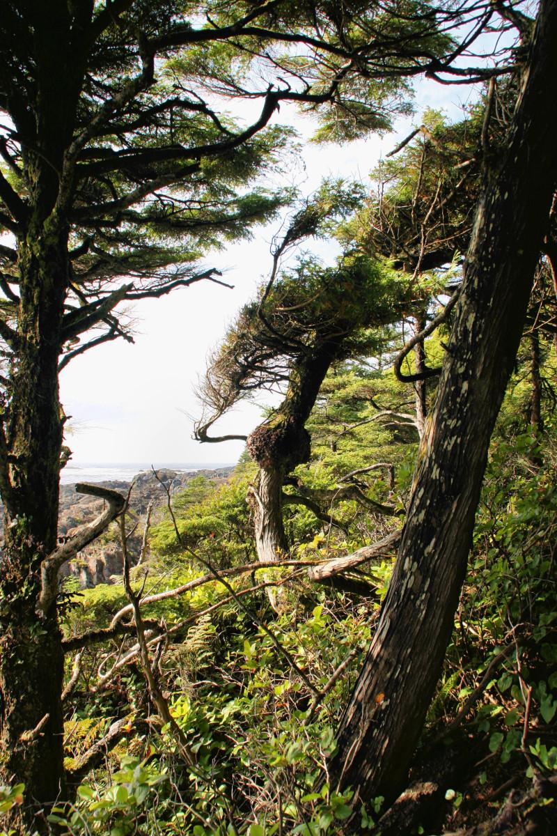 trees iii - Windswept