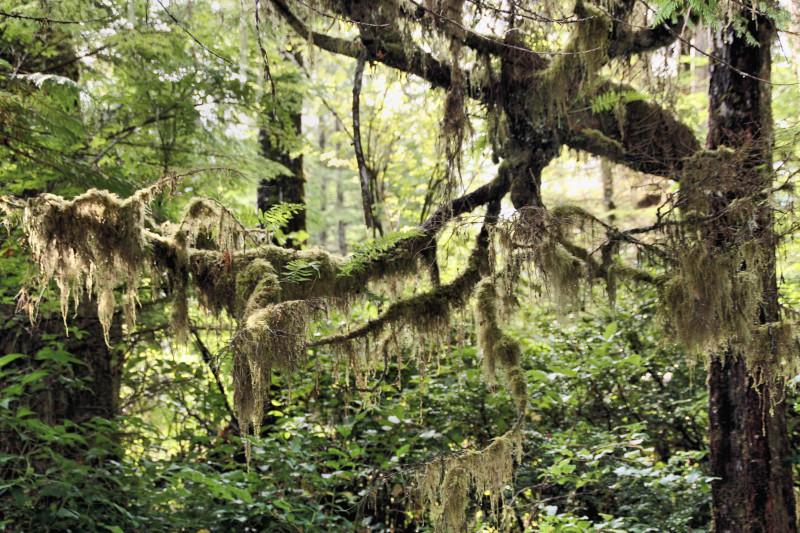 trees iv - Spanish Moss